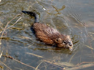 Muskrat_swimming_Ottawa