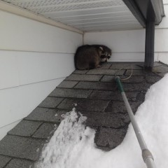 Young Raccoon on Roof
