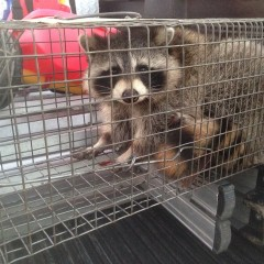 Raccoon Soffet Damage