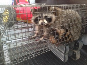 Raccoon - Nov 11, 14