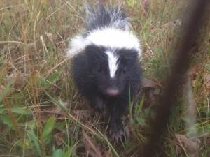 Skunk 2 - Oct 21, 14