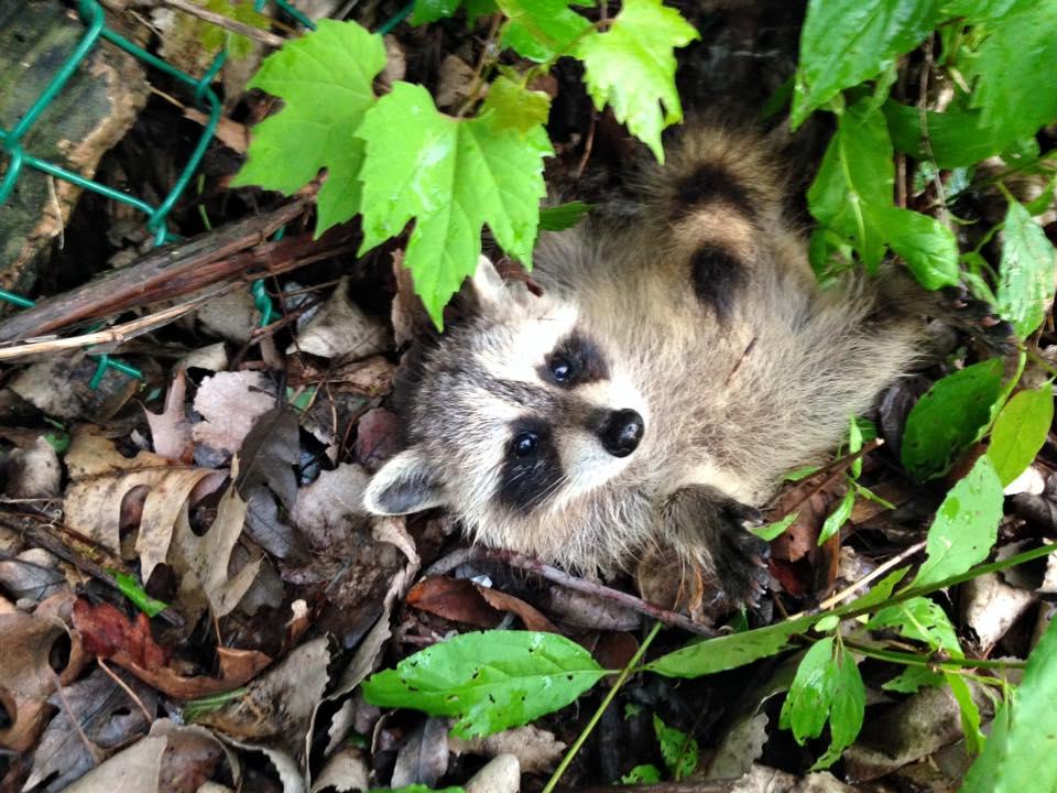 Raccoon Stuck in Fence