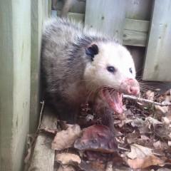 Opossum Cornered