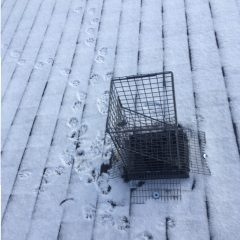 Raccoon Evicted and Trying to Return